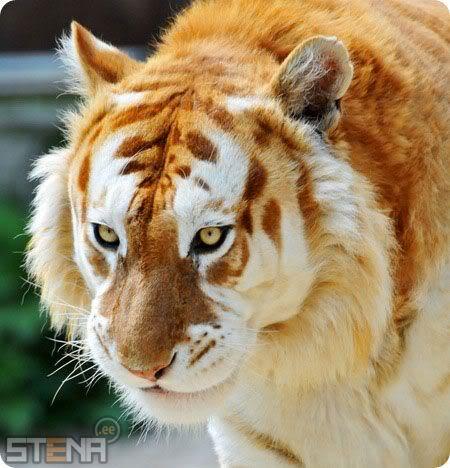 Online Zoznamka Tiger obrázok